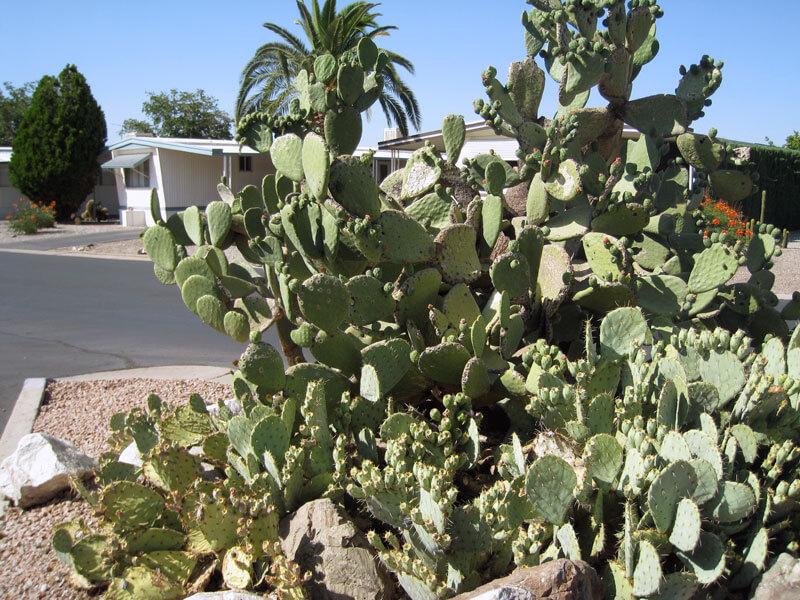 desertpueblo-cactus